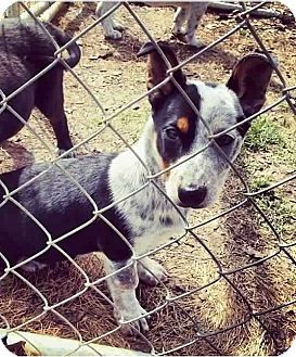 Corgi/Australian Cattle Dog Mix Puppy for adoption in Starkville, Mississippi - Jade
