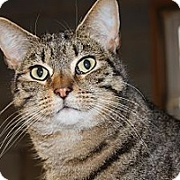 Manx Cat for adoption in Maxwelton, West Virginia - Bingo