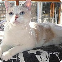 Snowshoe Cat for adoption in Los Angeles, California - Whiskey