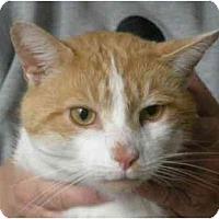 Adopt A Pet :: Creamsickle - Jenkintown, PA
