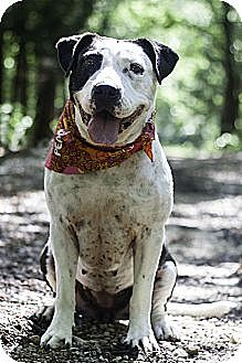American Pit Bull Terrier/Labrador Retriever Mix Dog for adoption in Aubrey, Texas - Phoenix