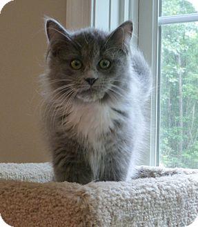 Domestic Longhair Kitten for adoption in Carlisle, Pennsylvania - Kate