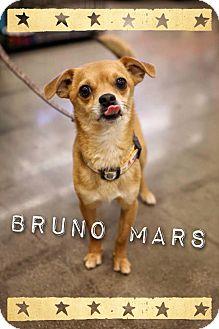 Pug/Chihuahua Mix Dog for adoption in Phoenix, Arizona - Bruno Mars