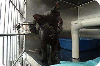 Domestic Shorthair Kitten for adoption in Elyria, Ohio - Raine