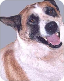 Akita Mix Dog for adoption in Grass Valley, California - Dollar*URGENT*