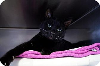 Domestic Shorthair Cat for adoption in New Milford, Connecticut - Coal