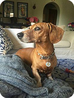 Dachshund Dog for adoption in Studio City, California - Hugo