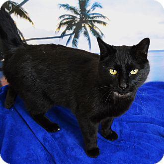 Domestic Mediumhair Cat for adoption in Buena Vista, Colorado - Oliver