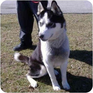 """Husky Dog for adoption in Various Locations, Indiana - """"Jet Li is urgent"""""""