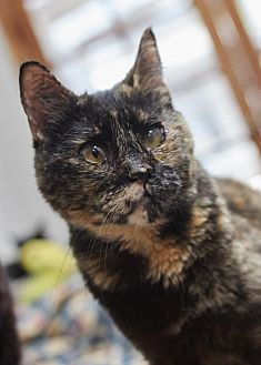 Domestic Shorthair Cat for adoption in Los Angeles, California - Belle