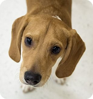 Beagle Mix Puppy for adoption in Las Vegas, Nevada - Charlie