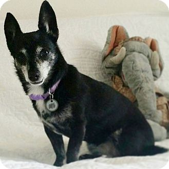 Chihuahua Mix Dog for adoption in Las Vegas, Nevada - Lollipop