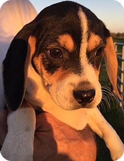 Coonhound (Unknown Type)/Pug Mix Puppy for adoption in PLAINFIELD, Indiana - Gertrude