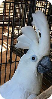 Cockatoo for adoption in Punta Gorda, Florida - Blue