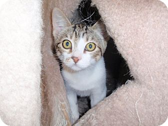 Domestic Shorthair Kitten for adoption in Temecula, California - Scout