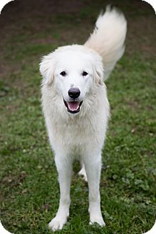 Great Pyrenees Dog for adoption in Granite Bay, California - ANNIE