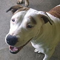 Pit Bull Terrier Dog for adoption in Ringoes, New Jersey - Amy