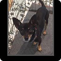 Adopt A Pet :: Todd - Scottsdale, AZ