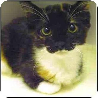 Calico Kitten for adoption in San Clemente, California - RACHEL