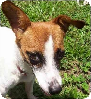 Jack Russell Terrier Mix Dog for adoption in Terra Ceia, Florida - ITSY BITSY