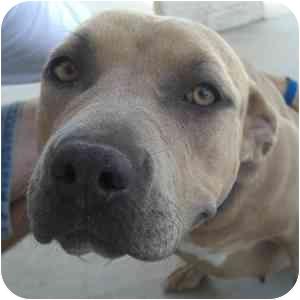 Pit Bull Terrier Dog for adoption in Phoenix, Arizona - Farrah