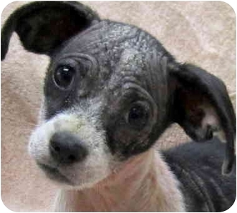 Chihuahua Mix Puppy for adoption in Los Angeles, California - Rio