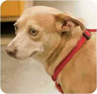 Chihuahua/Terrier (Unknown Type, Medium) Mix Dog for adoption in Loudonville, New York - Cono