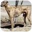 Photo 1 - Greyhound Dog for adoption in Dallas, Texas - Garth