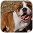Photo 2 - English Bulldog Puppy for adoption in Winder, Georgia - Winston