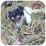 Photo 1 - Jack Russell Terrier Puppy for adoption in Spring Valley, New York - Vincent