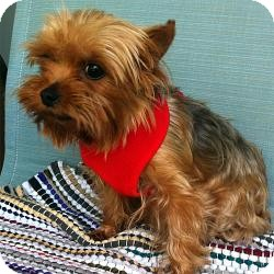 Yorkie, Yorkshire Terrier Dog for adoption in Bunnell, Florida - Paris