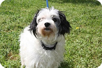 Shih Tzu Mix Dog for adoption in Cranford, New Jersey - Toodles