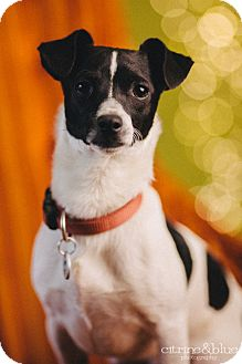 Smooth Fox Terrier/Dachshund Mix Dog for adoption in Portland, Oregon - Skittle