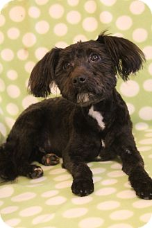 Maltese/Poodle (Miniature) Mix Dog for adoption in Hagerstown, Maryland - Oliver