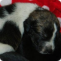 Adopt A Pet :: Asia - Honaker, VA