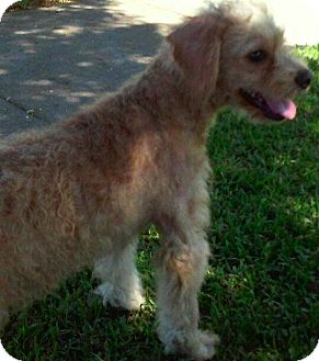 Terrier (Unknown Type, Small)/Poodle (Miniature) Mix Dog for adoption in Thousand Oaks, California - Gracie