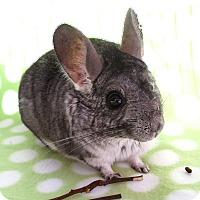 Adopt A Pet :: Avalanche - Virginia Beach, VA