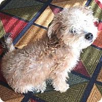 Adopt A Pet :: Otter Pop - Phoenix, AZ