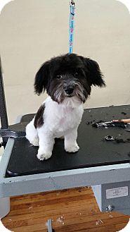 Havanese Puppy for adoption in Warren, Michigan - Waffle