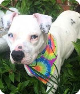 American Bulldog Mix Dog for adoption in Kingwood, Texas - Snowflake