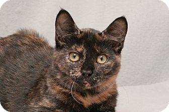 Domestic Shorthair Cat for adoption in Cary, North Carolina - Kentucky