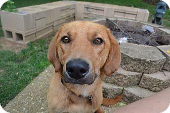 Golden Retriever/Basset Hound Mix Dog for adoption in Hamburg, Pennsylvania - Sully