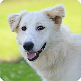 Great Pyrenees/Collie Mix Dog for adoption in Glastonbury, Connecticut - Sassy