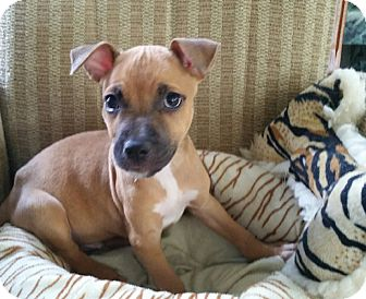 Boxer Mix Puppy for adoption in Cat Spring, Texas - Gus
