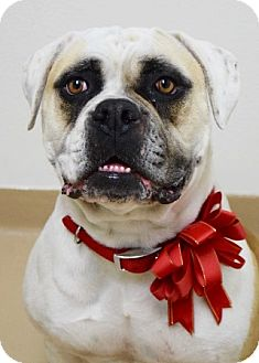 American Bulldog Mix Dog for adoption in Dublin, California - Mabel