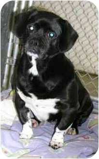 Pug Mix Dog for adoption in Staunton, Virginia - Miss Lovey