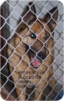 German Shepherd Dog Dog for adoption in Chepachet, Rhode Island - Angus