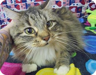 Maine Coon Cat for adoption in Rapid City, South Dakota - Sassy