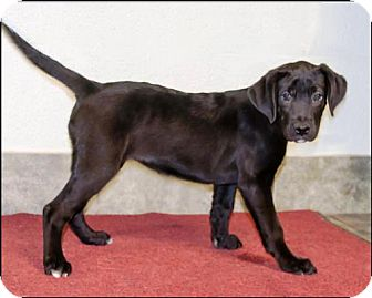 Labrador Retriever/Boxer Mix Puppy for adoption in Ada, Oklahoma - DAISY