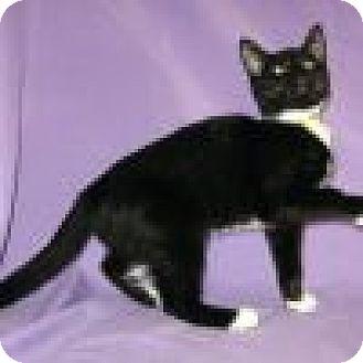 Domestic Shorthair Cat for adoption in Powell, Ohio - Daelynn